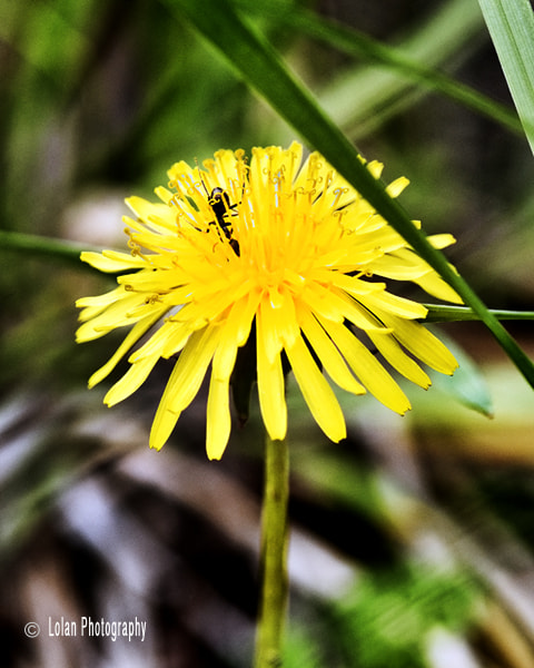Photograph Bug on Dandelion by Thomas Lolan on 500px