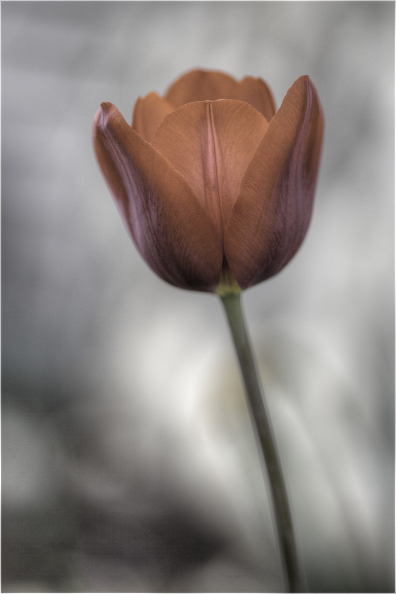 Photograph The season of the Tulip by Honda Rider on 500px