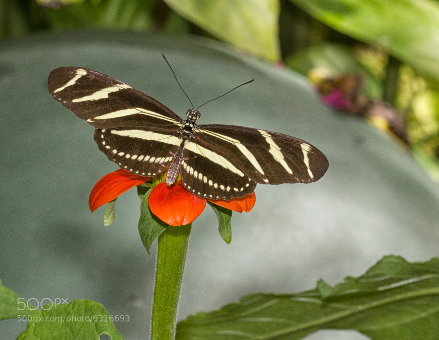 Butterfly World, Coconut Creek,Florida.