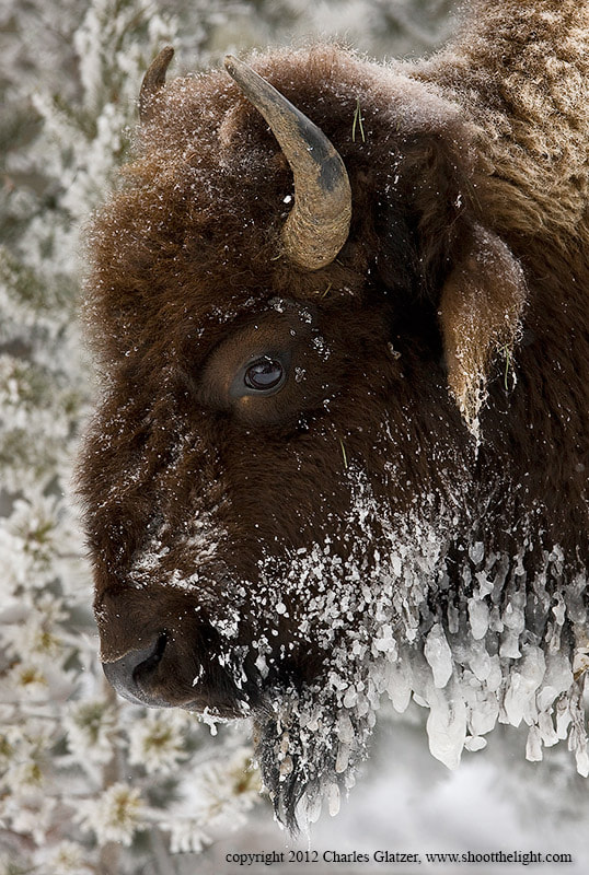 Photograph Frozen Bison Portrait by Charles Glatzer on 500px