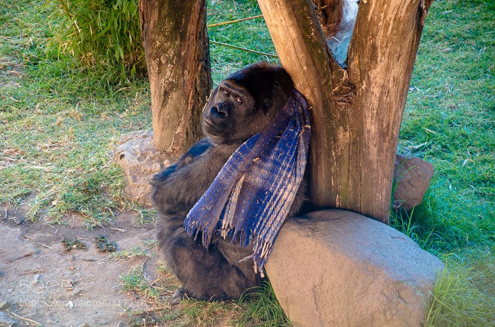 Photograph Gorila en Zacango by Héctor Barrera Carrera on 500px