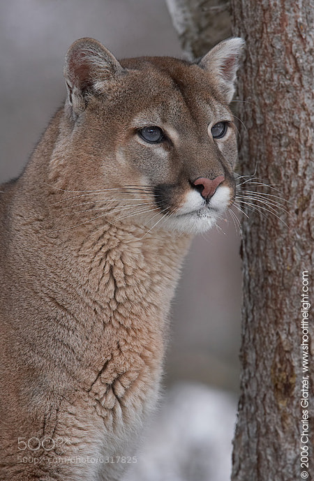 Photograph Mountain lion portrait by Charles Glatzer on 500px