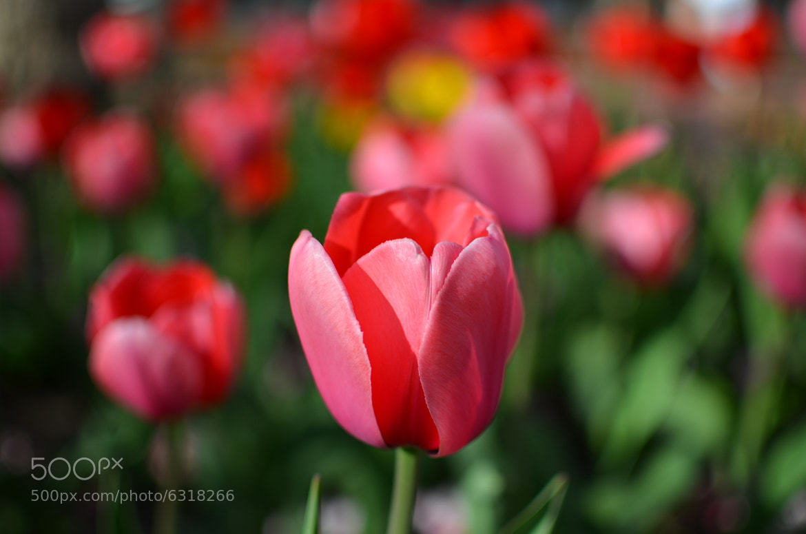 Photograph A Tulip Amongst Tulips by Brandon Line on 500px