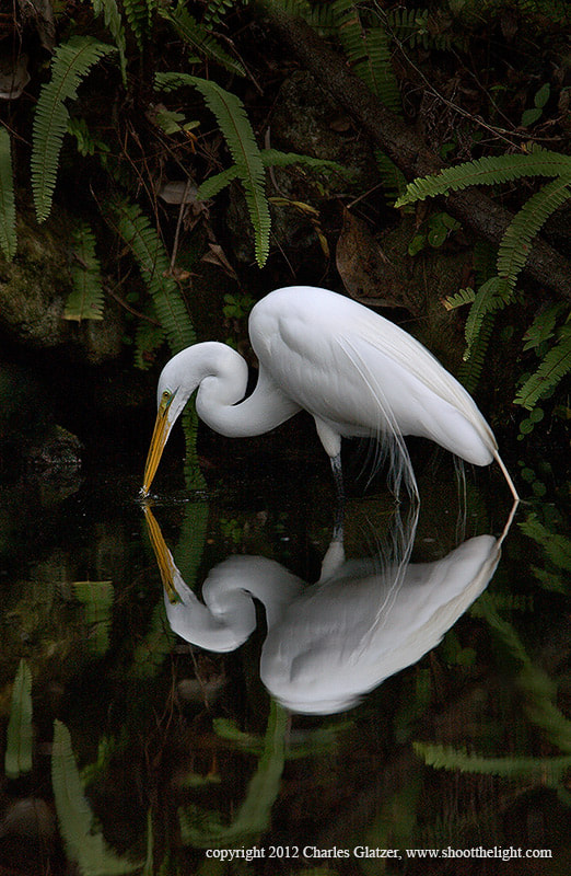 Photograph Great Egret with reflection by Charles Glatzer on 500px