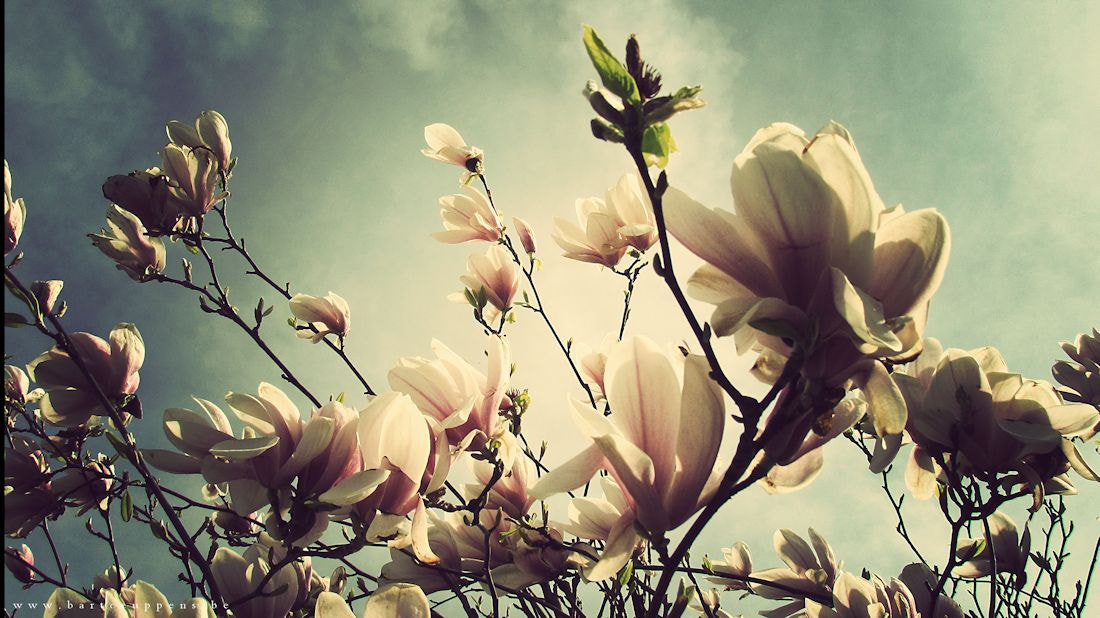 Photograph Magnolia 2 by Bart Ceuppens on 500px