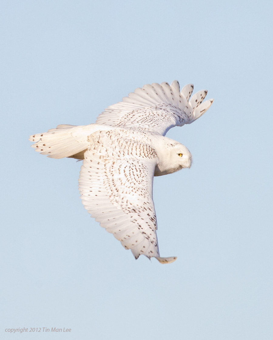 Photograph Snowy Owl Flying by Tin Man on 500px