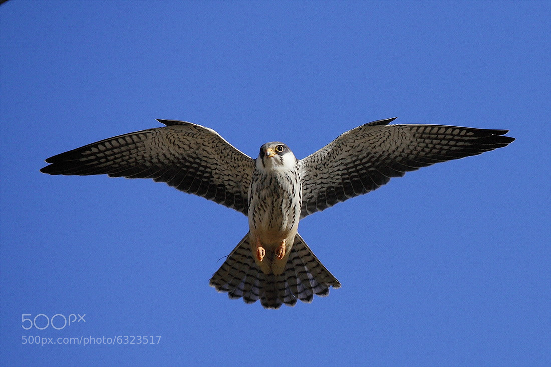 Photograph Amur Falcon  by Namgun Lee on 500px