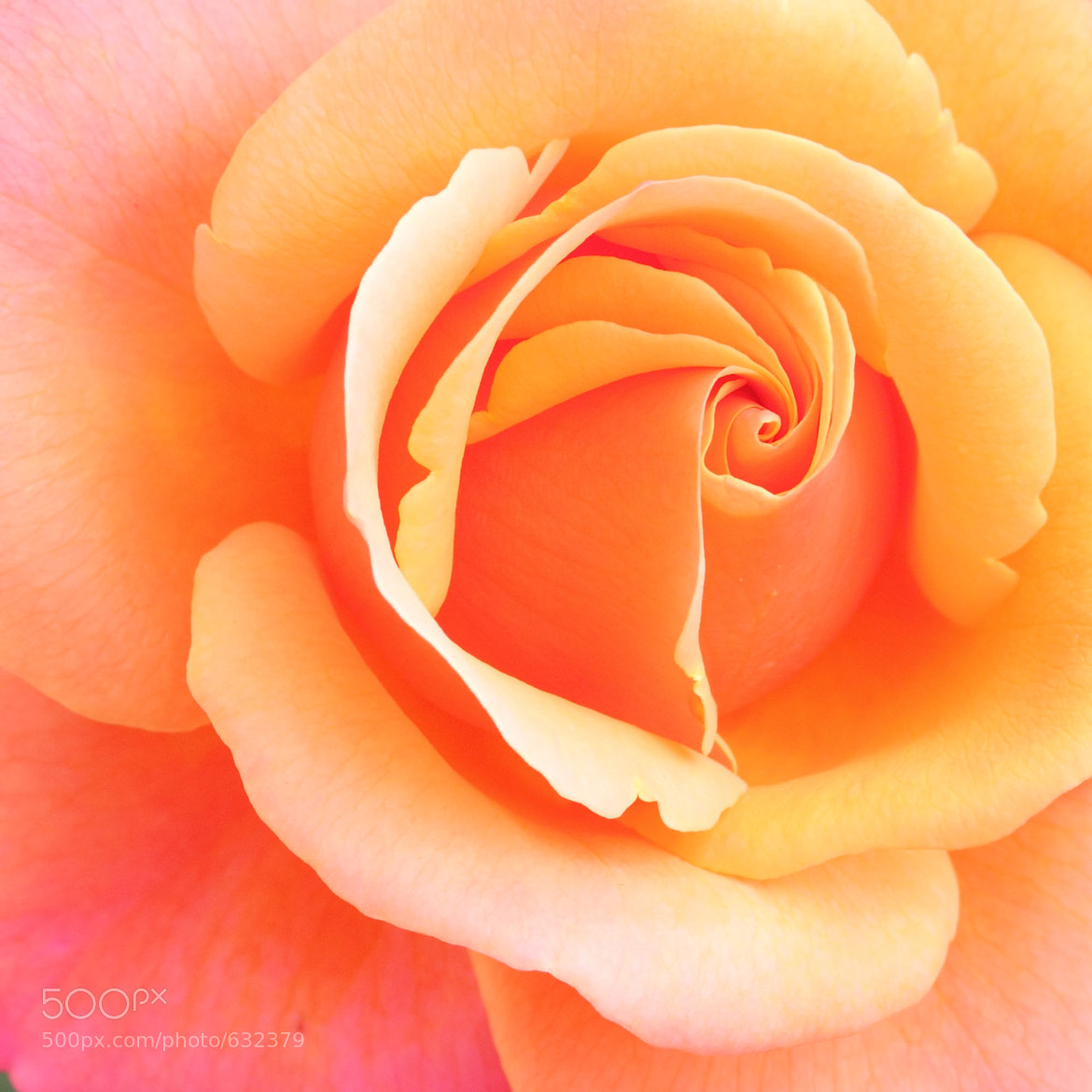 Photograph Rose, orange-pink by Peter Sommer on 500px