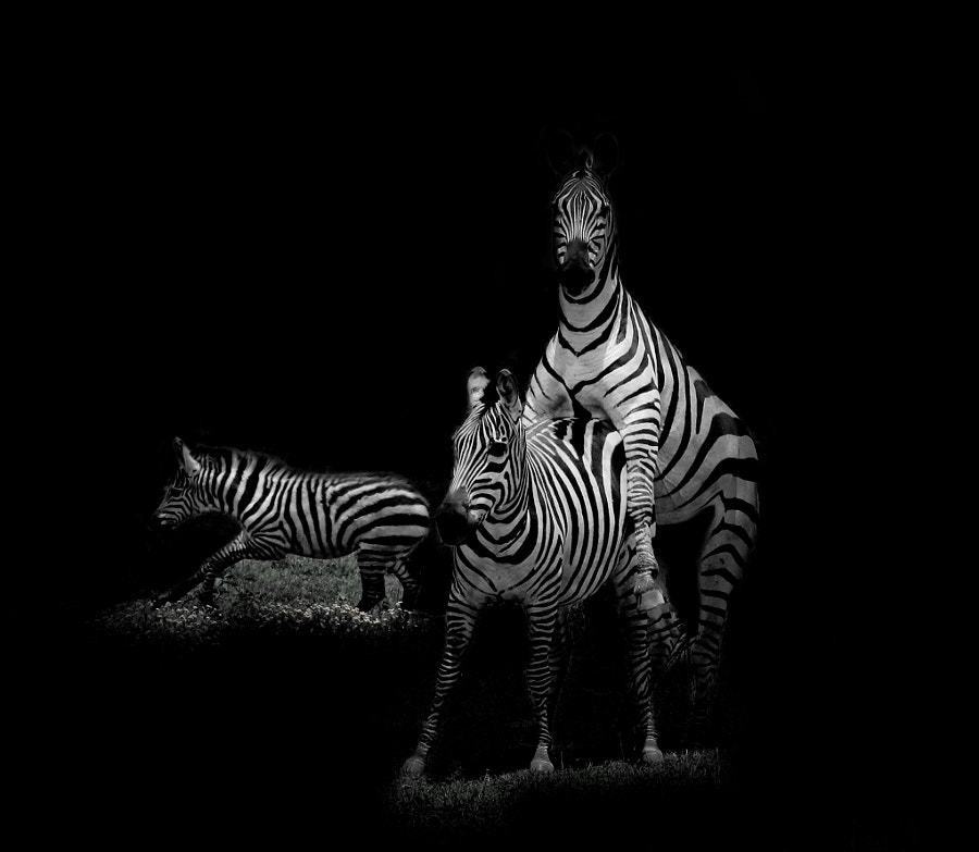 Zebra having fun