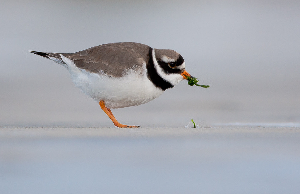 Photograph Common Ringed Plover by Geir  Jensen on 500px
