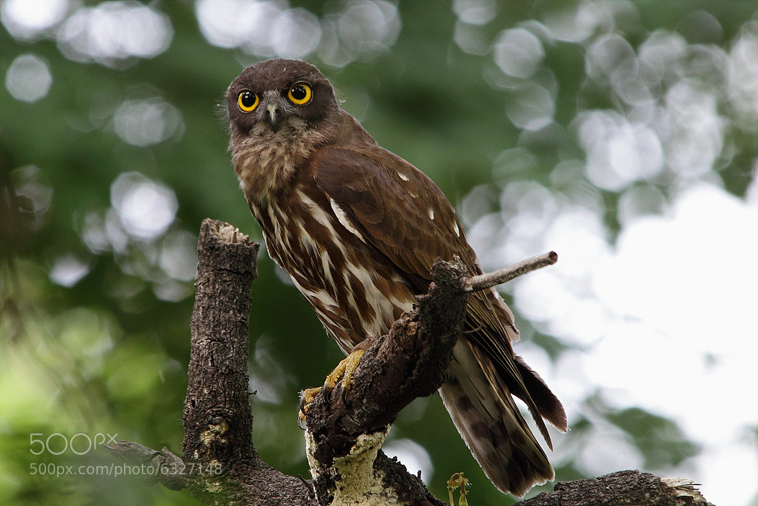 Photograph brown hawk-owl by Namgun Lee on 500px