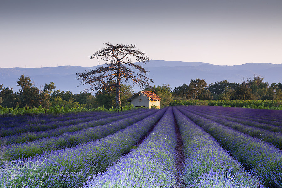 Photograph Lavender by Keith Burtonwood on 500px