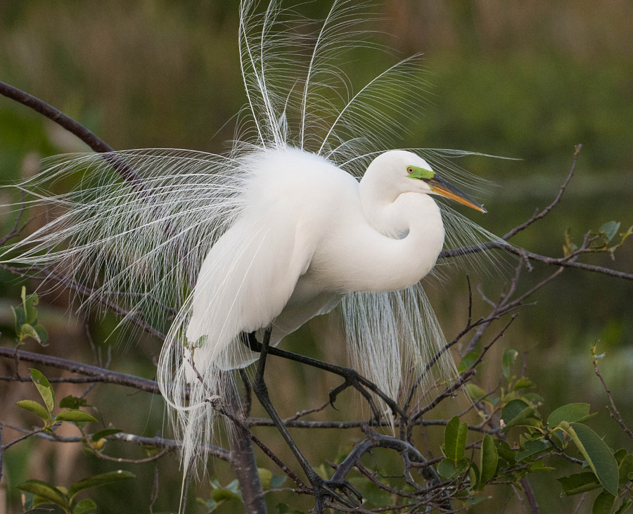 Great White Egret in Breeding Plumage by Manjesh Lingamurthy on 500px