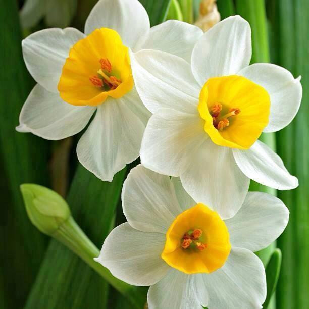 How to Grow and Care for Daffodils