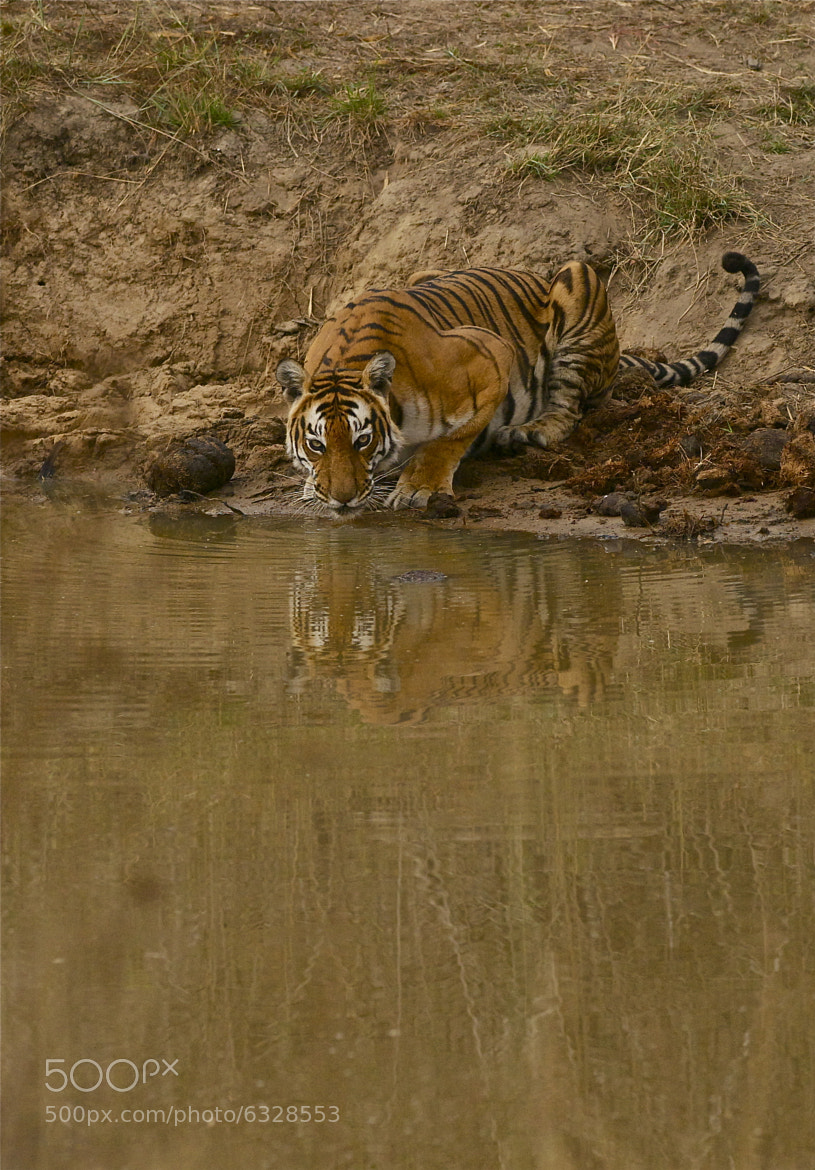 Photograph TIger at the water hole by Balachandar on 500px
