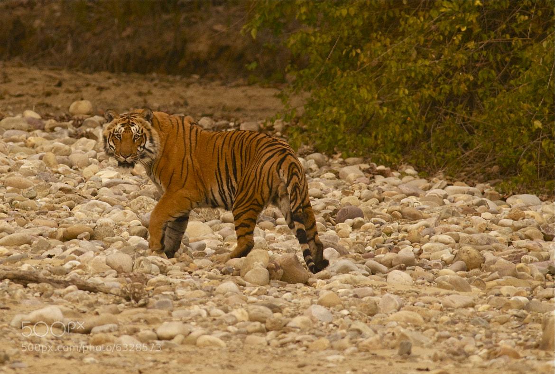 Photograph Tiger by Balachandar on 500px