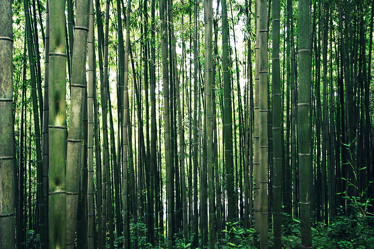 Photograph bamboo forest by Reonis  on 500px