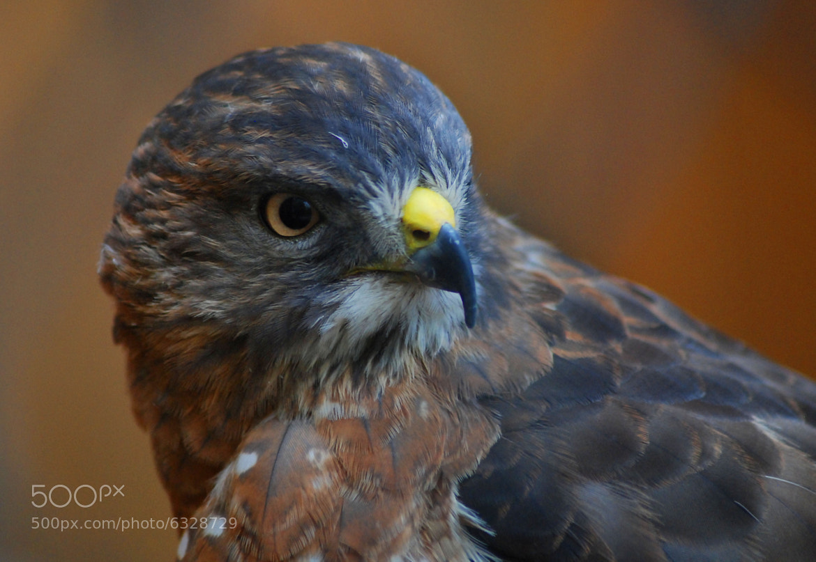 Photograph Broad Shouldered Hawk by Arvo Poolar on 500px