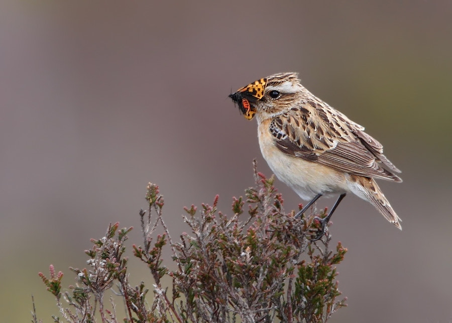 Photograph Whinchat by Karen Summers on 500px