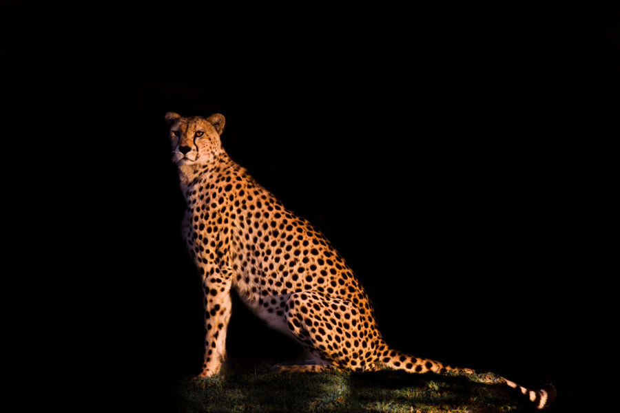 Lady cheetah on the watch
