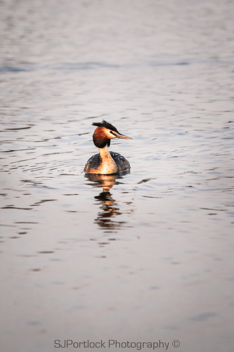 Photograph Great Crested Grebe  by Stephen Portlock on 500px