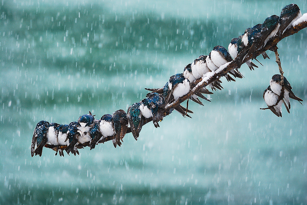 Photograph Seemingly Surreal Swallows in a Spring Snowstorm by Keith Williams on 500px