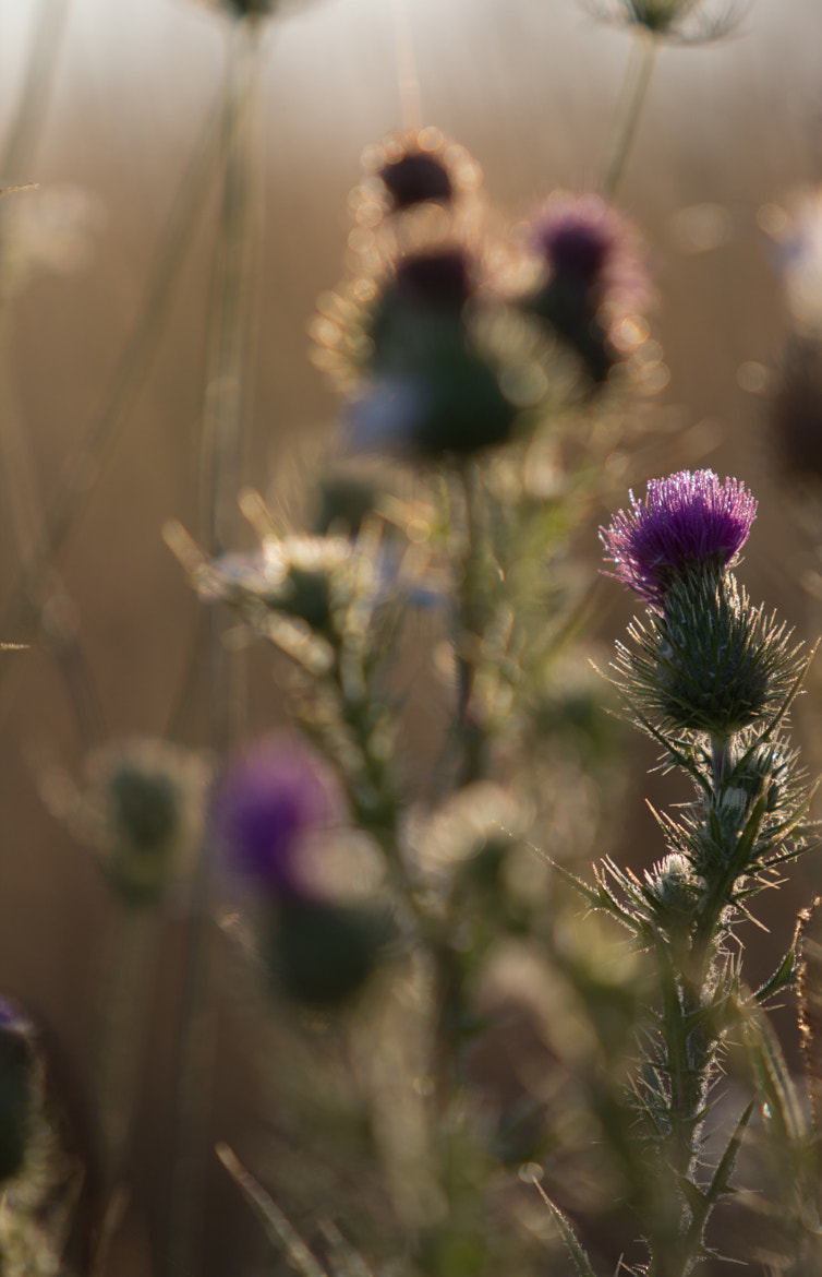 Photograph Thistle weed by Damian Vertigan on 500px