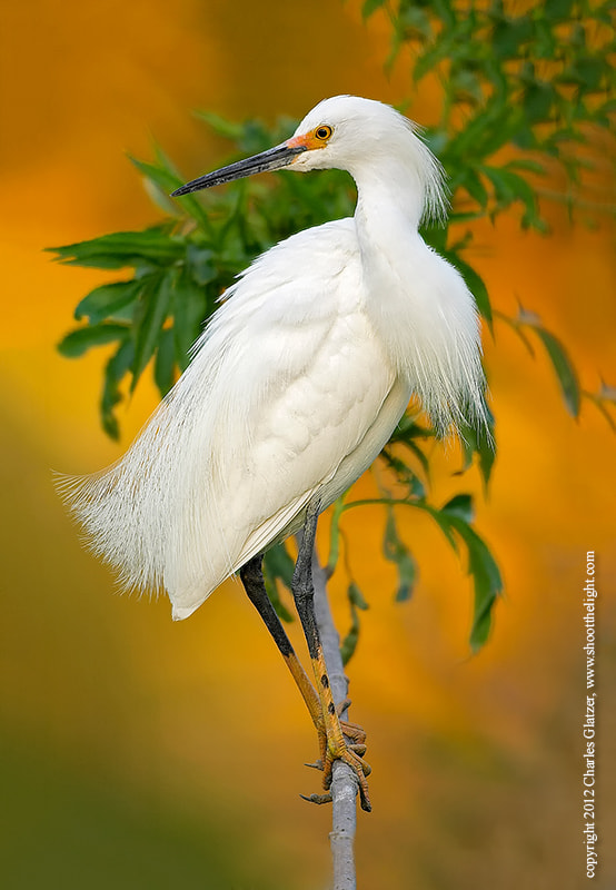 Photograph Snowy egret by Charles Glatzer on 500px