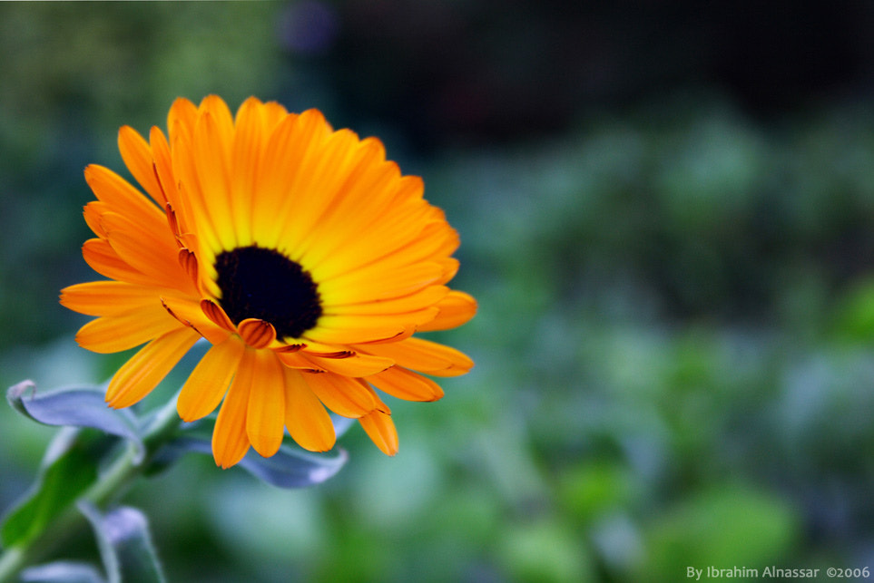 Photograph A yellow flower by Ibrahim  Alnassar on 500px