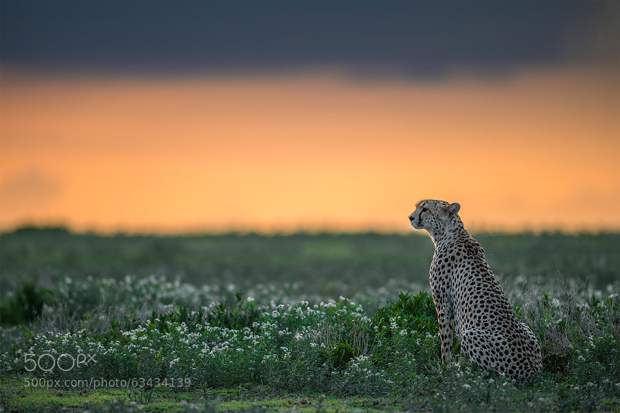 Photograph Ndutu cheetah by Marc MOL on 500px