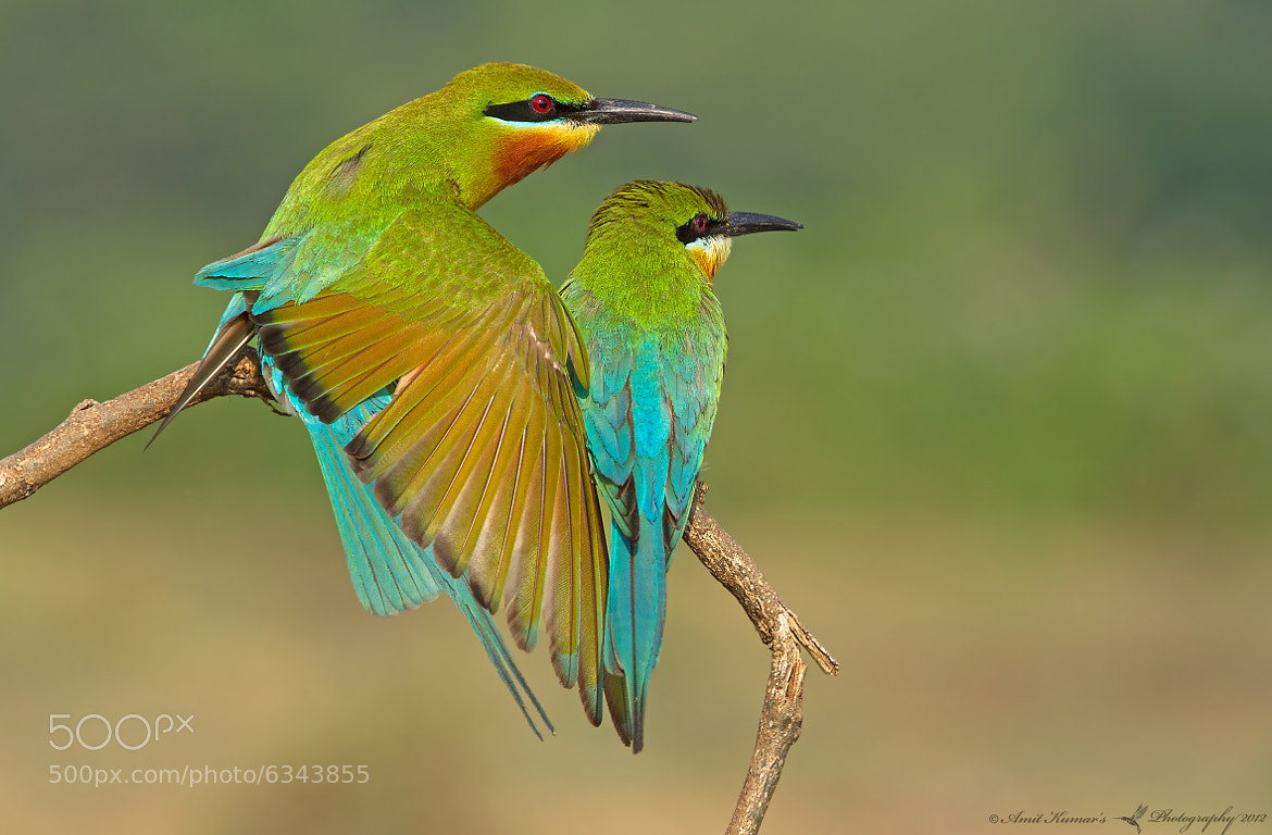 Hey Honey | Blue-Tailed Bee Eater by Amit Kumar | 500px