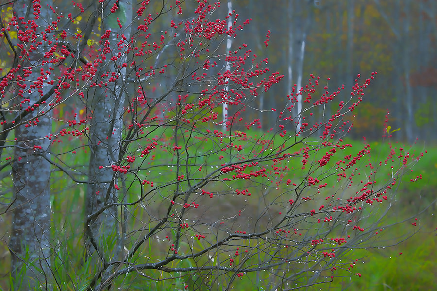 i tried to maintain a plane of focus on the raindrops and berries while allowing the background to be soft but identifiable. Taken in Acadia National Park.