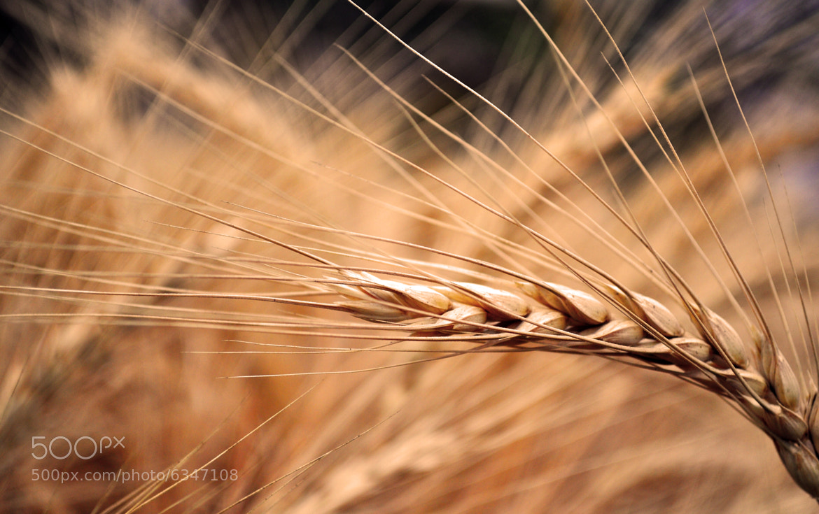 Photograph The Crown of Wheat by Lu and Kee Bud on 500px