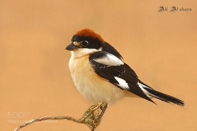 Photograph طائر الصرد by ali-alshaya on 500px