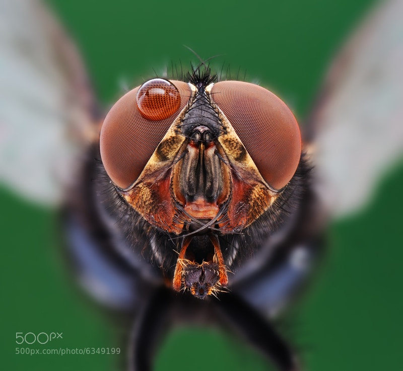 Photograph Housefly 3 by soheil shahbazi on 500px