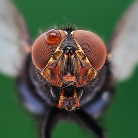 Housefly 3 by soheil shahbazi (shahbazi)) on 500px.com