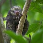 ������, ������: Mexican Hairy Dwarf Porcupine