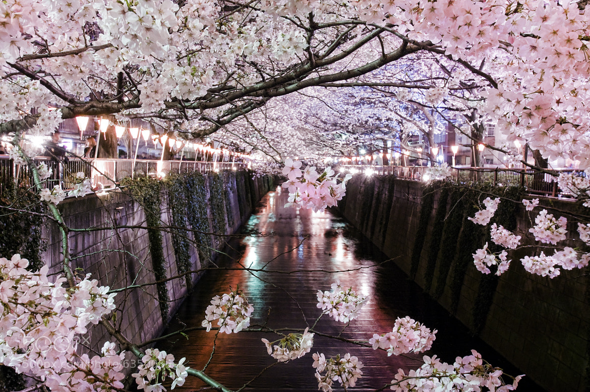 Photograph SAKURA 2012 by Kenji Doi on 500px