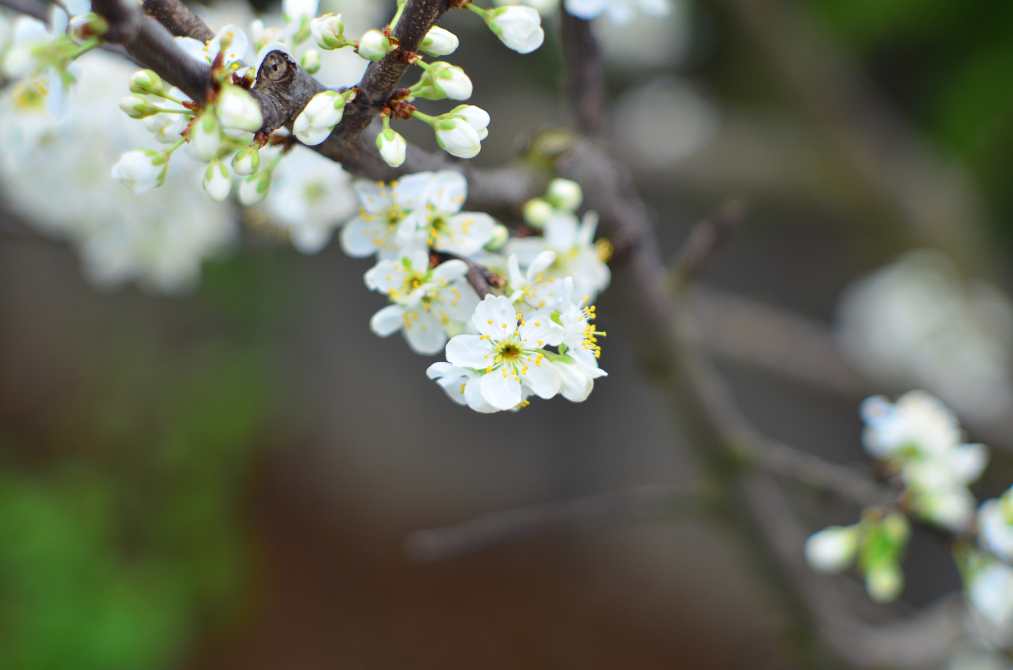 Photograph Plum blossom II by The Oal on 500px