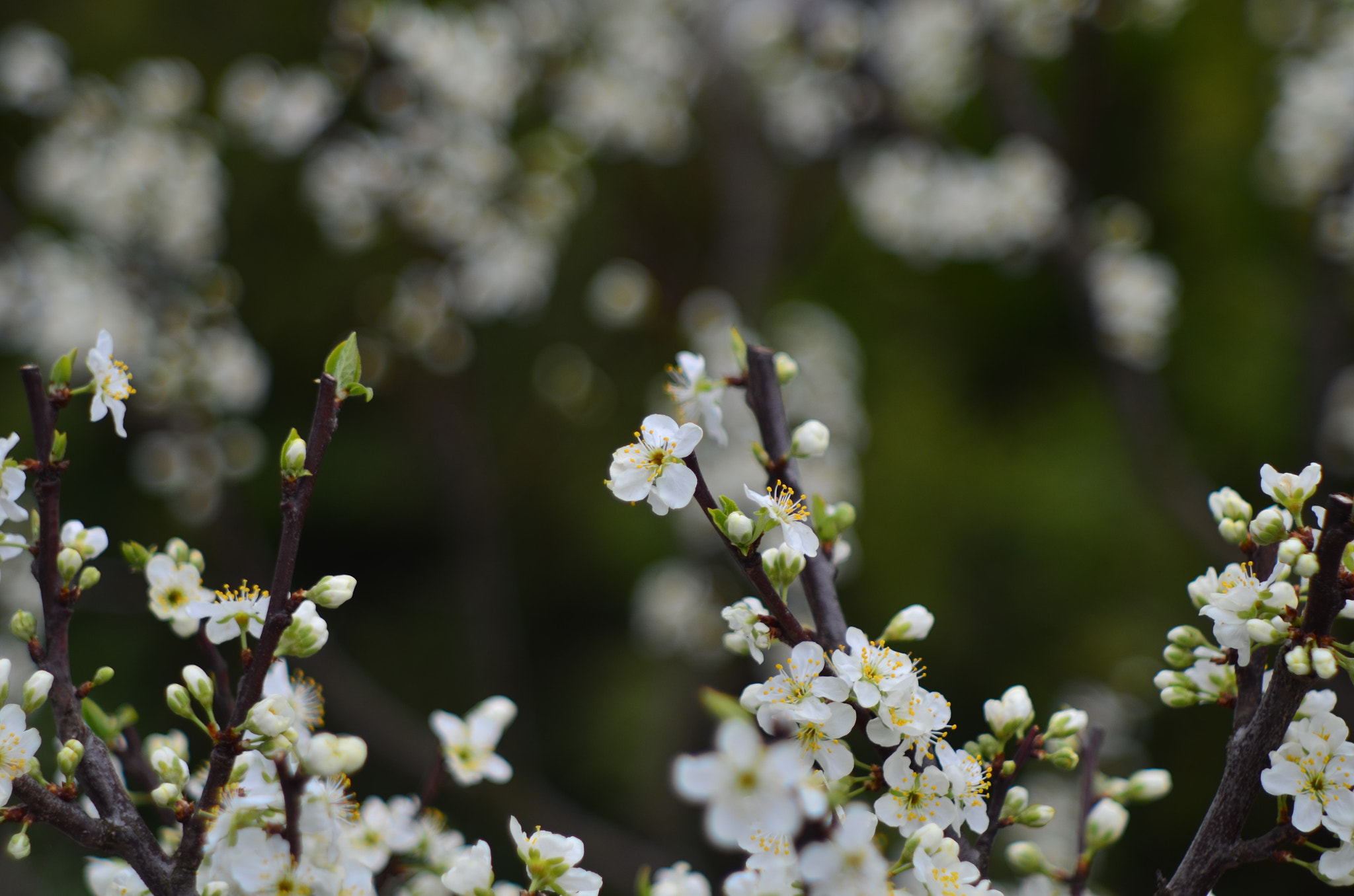 Photograph Plum blossom I by The Oal on 500px