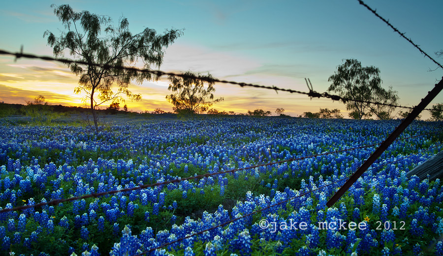 Photograph Texas Bluebonnets by Jake  McKee on 500px