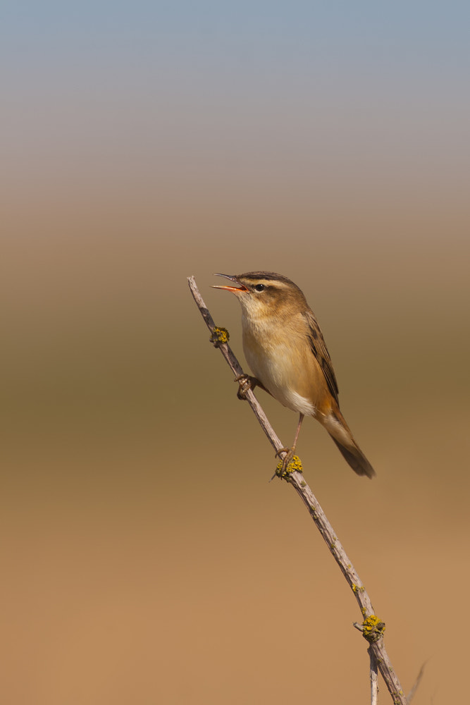 Photograph Sedge Warbler by Nigel  Pye on 500px