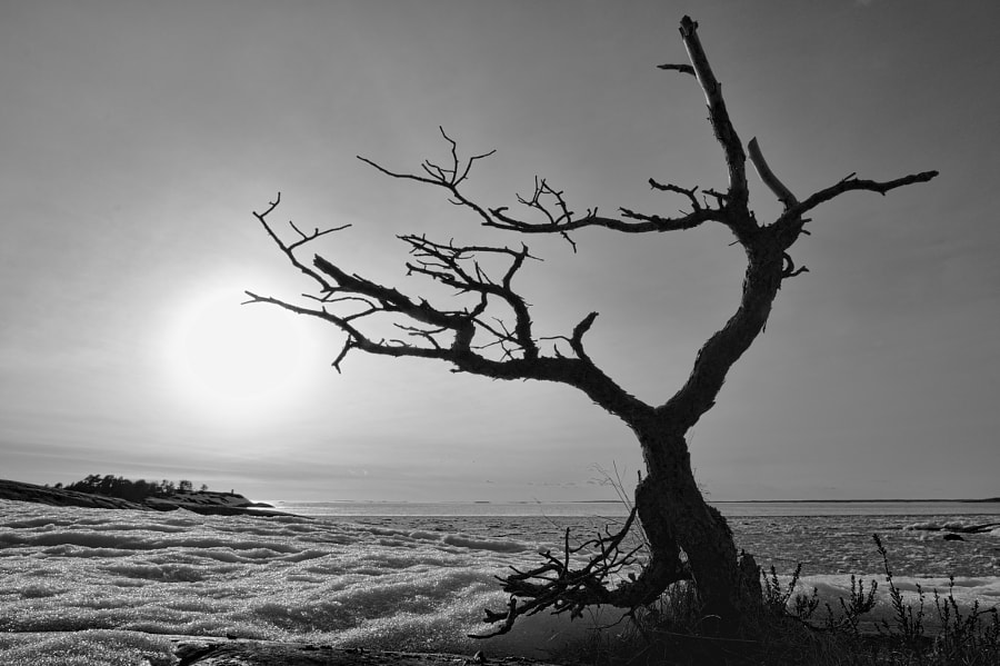 Dead Tree by the Sea