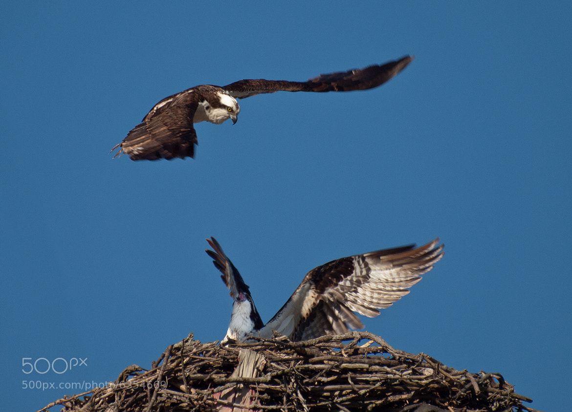 Photograph Osprey Nest in Blair  by Kevin  Pepper on 500px