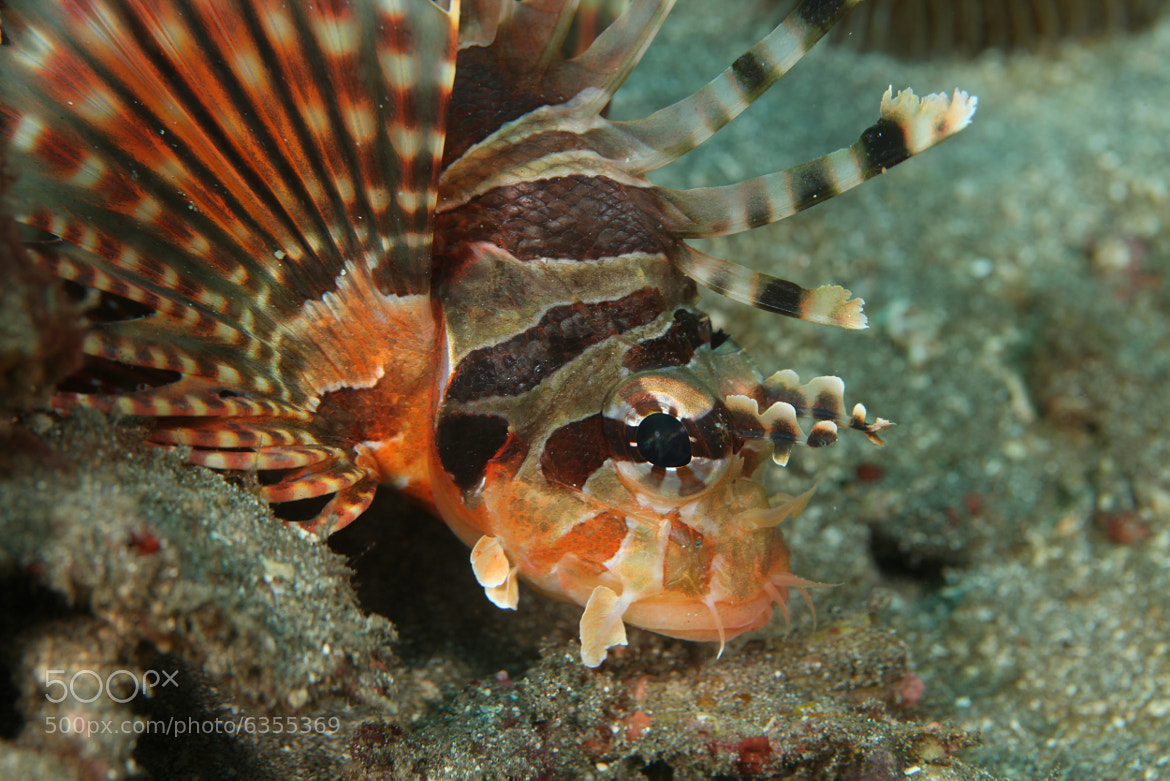 Photograph Pterois Andover - Lionfish by Kirin Goh on 500px