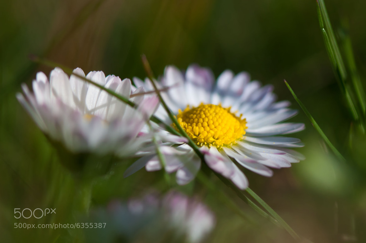 Photograph Leucanthemum vulgare by Marco S on 500px