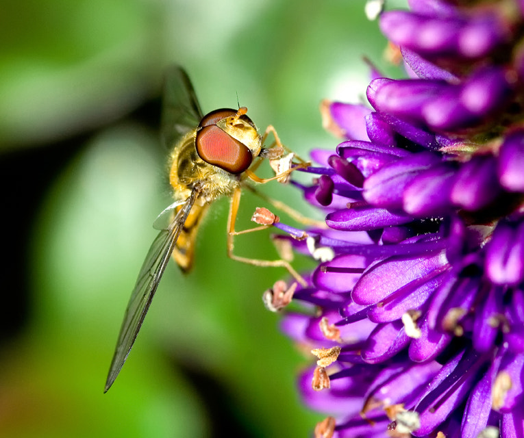 Photograph Hover fly by Darren Bushnall on 500px