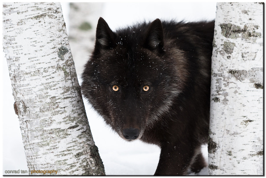 Black Timber Wolf by Conrad Tan on 500px.com