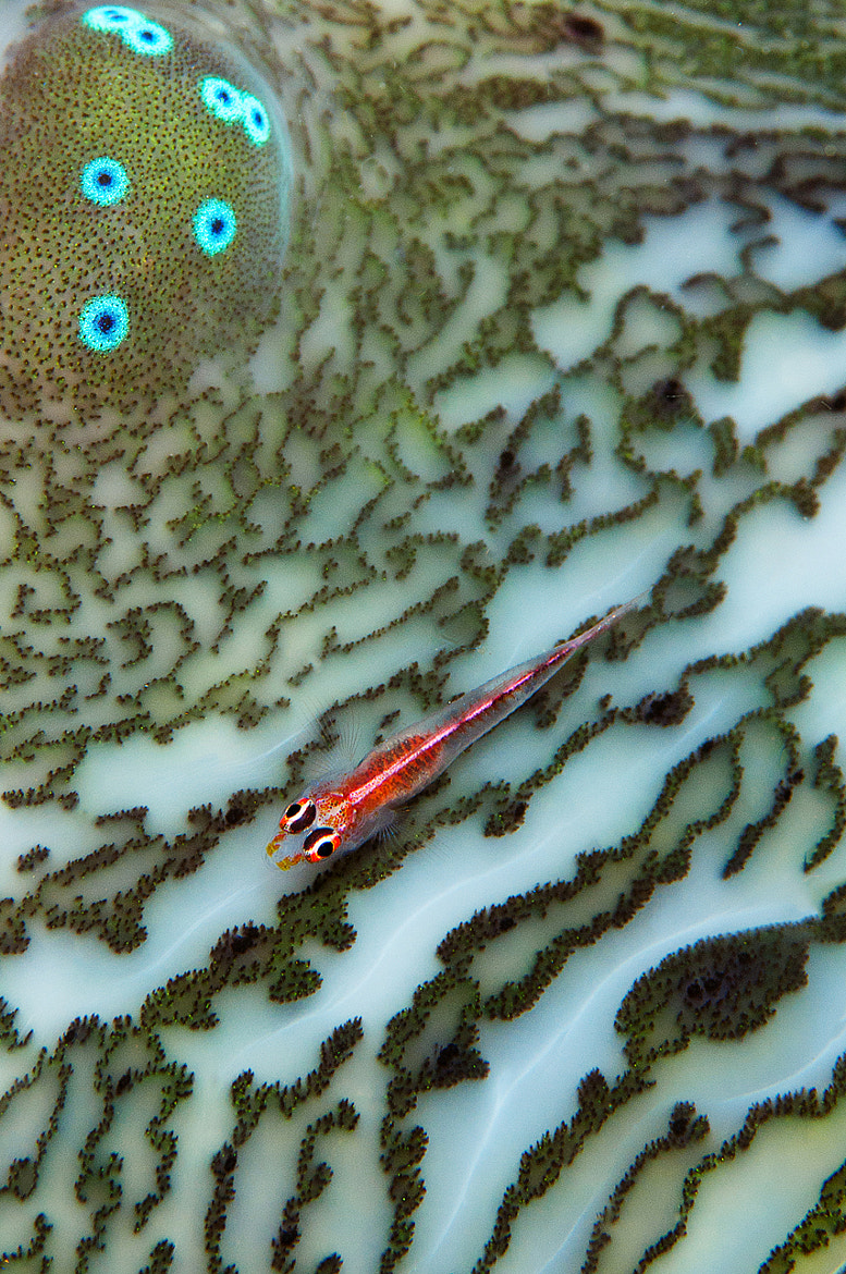 Photograph Pygmy Gobie and Giant Clam by Nigel  Wade on 500px