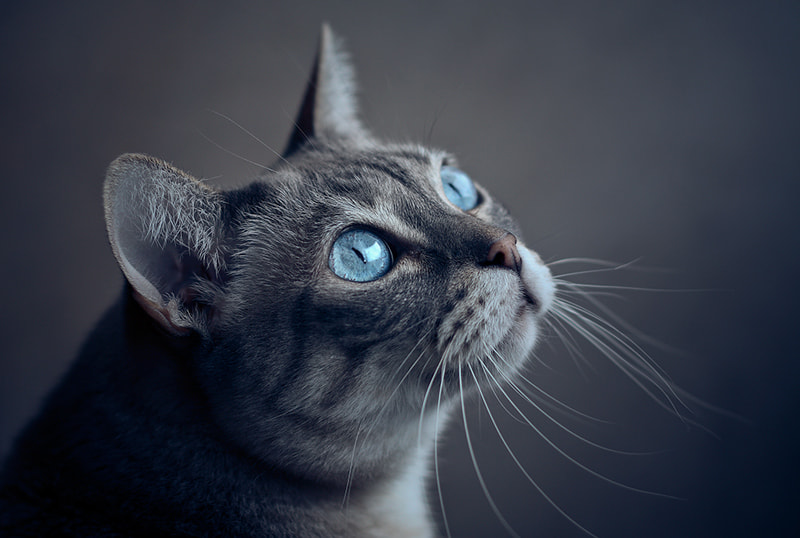 Photograph Cat in blue by Javier Oliver on 500px